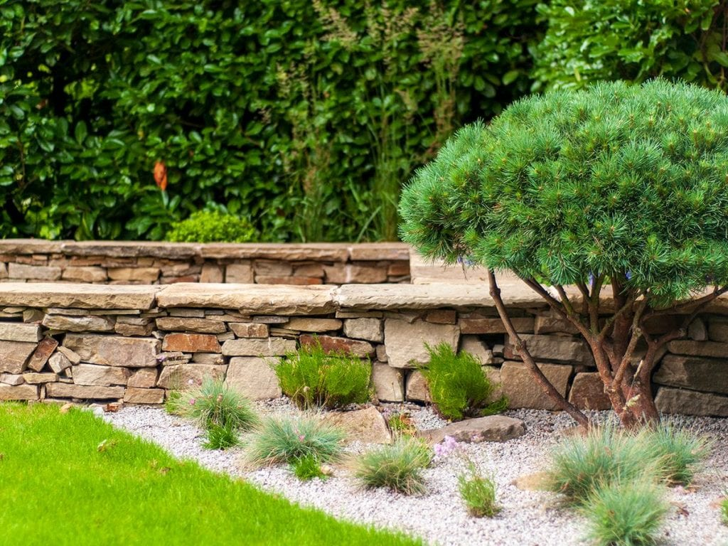multi stemmed pinus watereri in front of contemporary dry stone wall seating and gravel