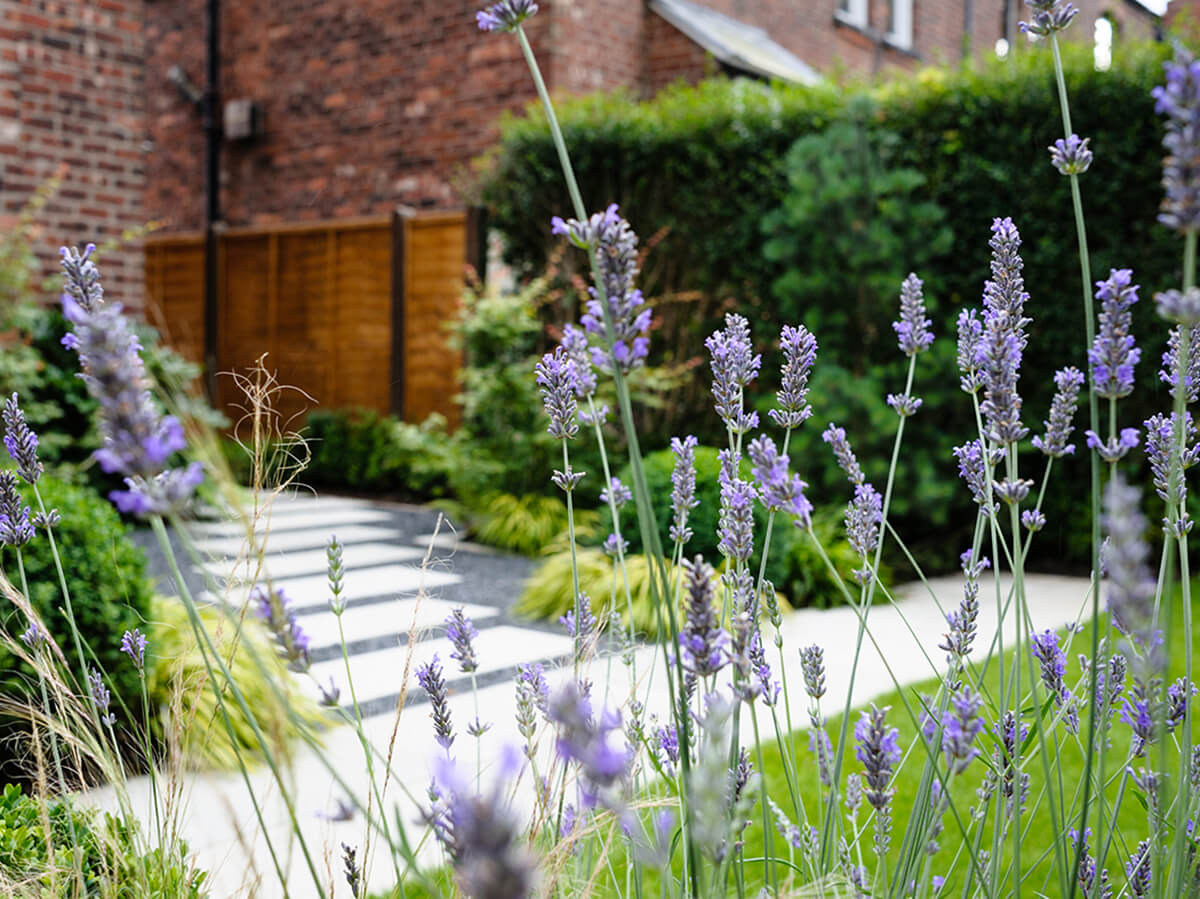 View of thorugh lavender of grey sandstone stepping stones acers and japanese forest grass and pine