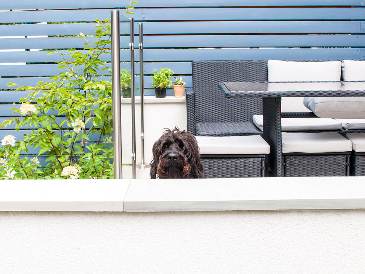 puzzled cockapoo above wall